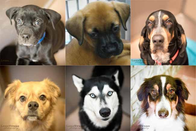 These dogs are available for adoption right now from Operation Kindness located in the North Dallas Corridor. From top left to bottom right: Bear, Beatrice, Copper, Goldie, Kodiak and Sage. Photos courtesy Operation Kindness.