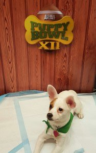 Operation Kindness puppy Darby will participate in the starting lineup of the upcoming Puppy Bowl. Photo courtesy of TrizComm Public Relations.