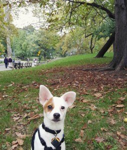 Darby hangs out in Central Park, getting some exercise before the big day. Photo courtesy of TrizComm Public Relations.