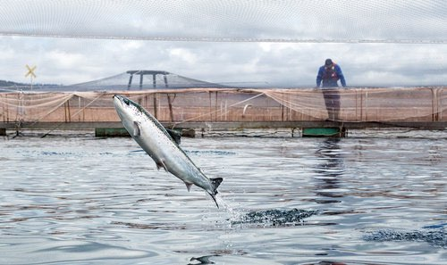 Chilean Patagonia Salmon at Nate's! - Addison Magazine